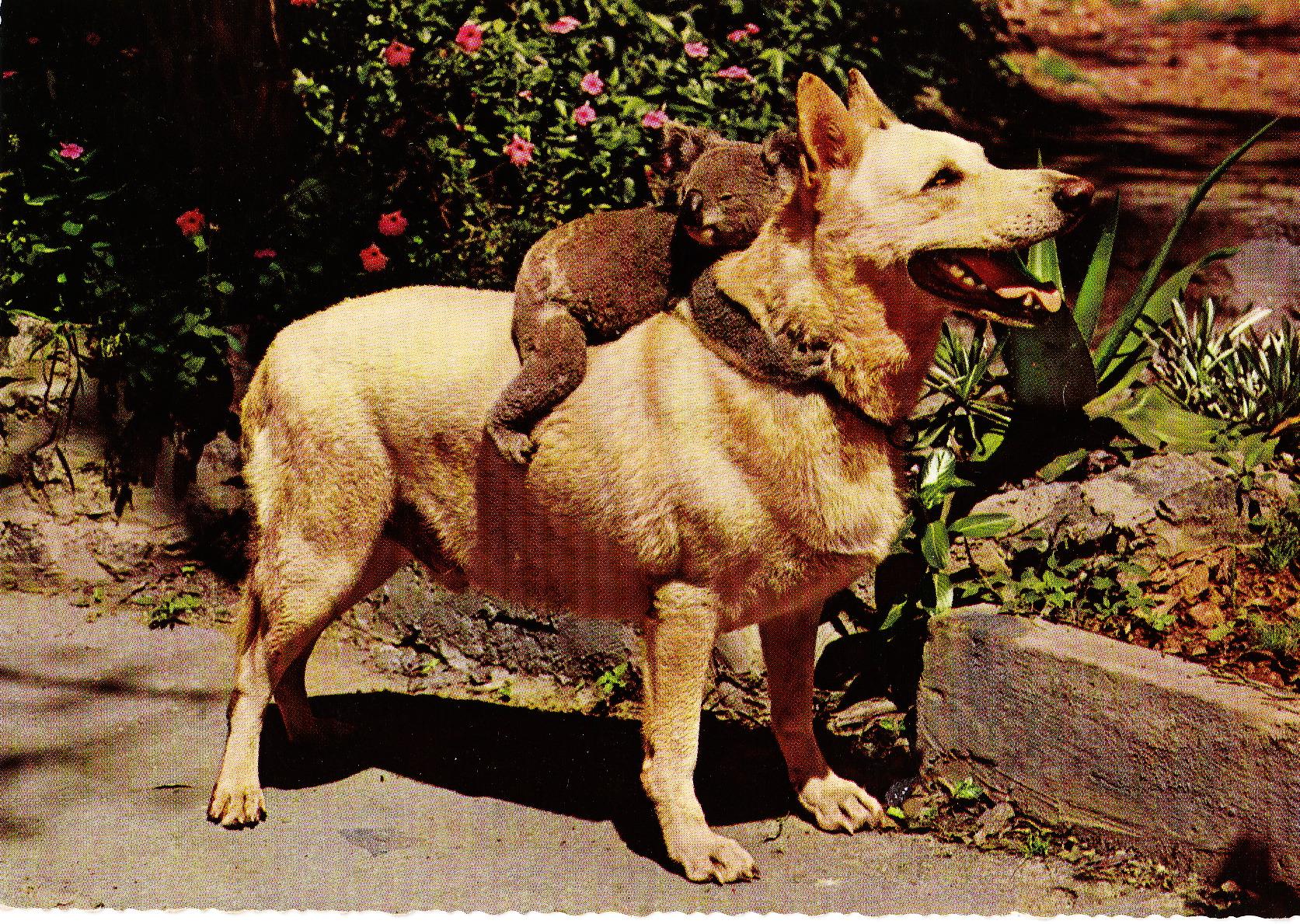 Dog Looks Like Teddy Bear Teddy Bear Riding a Dog